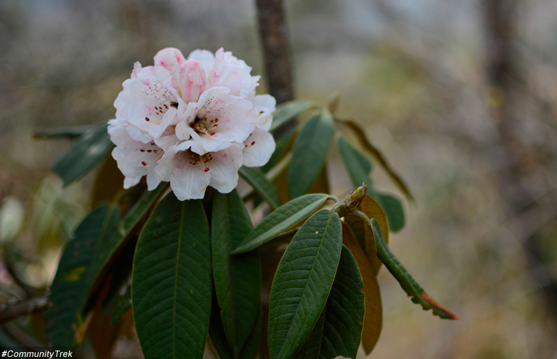 fauna and flora of Everest, alpine flowers Trek in Nepal