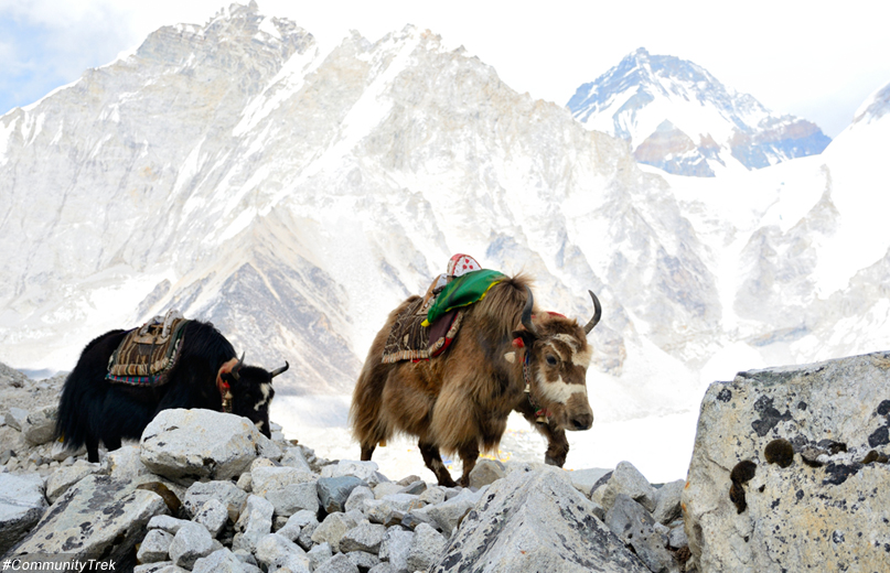Yaks from Everest, Everest Travel Photography Trek, Everest Travel Photography Trek